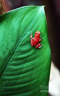 Photograph - Red Frog by John Rizzuto