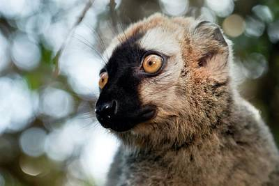 Lemur Photograph - Red-fronted Brown Lemur by Alex Hyde