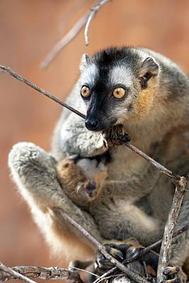 Lemur Photograph - Red-fronted Brown Lemur And Infant by Alex Hyde