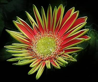 Photograph - Red Gazania Blossom by Bruce Bley