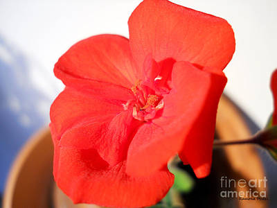 Red Geranium Art Print by Ramona Matei
