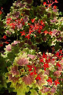 Photograph - Red Geraniums 1 by Chris Scroggins