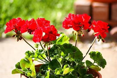 Red Geraniums Art Print by Cynthia Woods