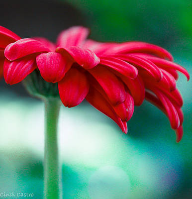 Photograph - Red Gerbena by Cindi Castro