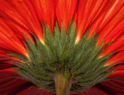 Photograph - Red Gerber Daisy by Bob Coates