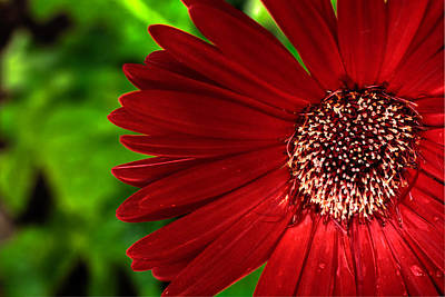 Photograph - Red Gerber Daisy by John Magyar Photography