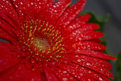 Red Gerber In The Rain Art Print by Shelly Gunderson