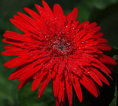 Red Gerbera Daisy Delight Original by Suzanne Gaff
