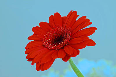 Gerbera Daisy Digital Art - Red Gerbera Daisy by Scott Carruthers
