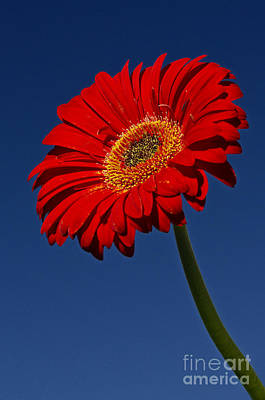 Photograph - Red Gerbera by Dee Cresswell