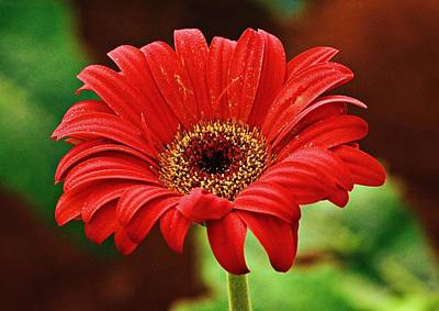Red Gerbera Flower Art Print by Johnson Moya