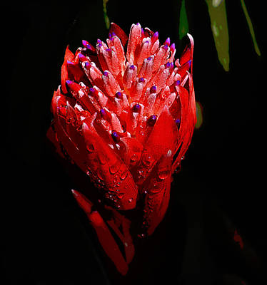 Photograph - Red Ginger by Brad Thornton