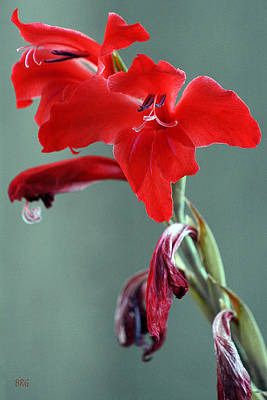 Photograph - Red Gladiolus by Ben and Raisa Gertsberg