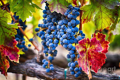 Blue Grapes On The Vine Art Print by George Oze