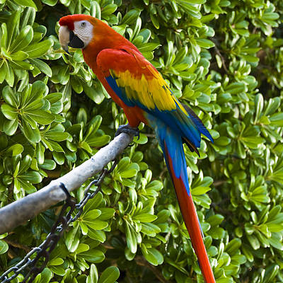 Photograph - Red-green Macaw by Gene Norris