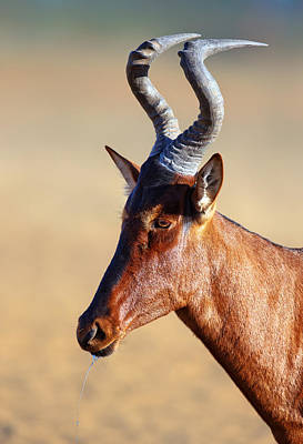 Red Hartebeest Portrait Art Print by Johan Swanepoel