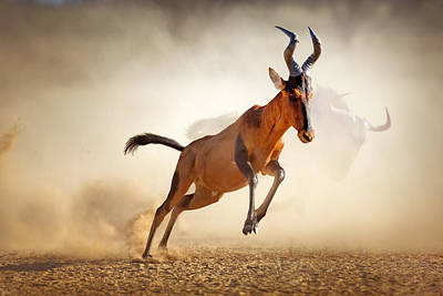 High Speed Photograph - Red Hartebeest Running In Dust by Johan Swanepoel