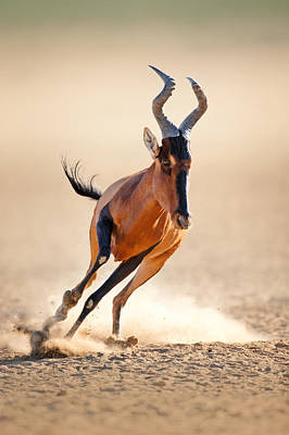 Red Hartebeest Running Art Print by Johan Swanepoel