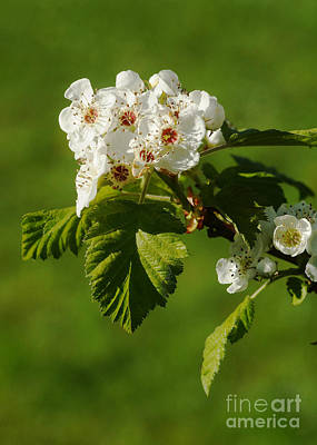 Photograph - Red Hawthorn by Rudi Prott