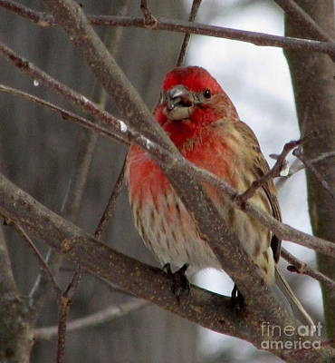 Aromatherapy Oils - Red Headed Finch by Joshua Bales