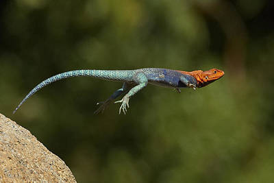 Agama Photograph - Red-headed Rock Agama Lizard Jumping by San Diego Zoo