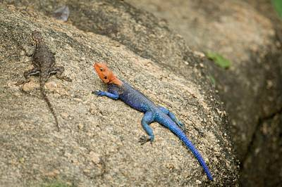 Agama Photograph - Red-headed Rock Agama by Photostock-israel