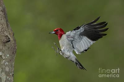 Red-headed Woodpecker Art Print by Anthony Mercieca