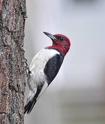 Red-headed Woodpecker Art Print by Lara Ellis