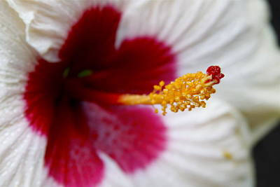 Photograph - Red Heart Rose Of Sharon Hibiscus by Karon Melillo DeVega