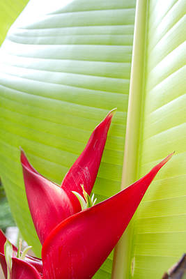 Beautiful Photograph - Red Heliconia Tropical by Jared Shomo