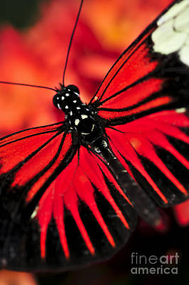Exotic Creatures Photograph - Red Heliconius Dora Butterfly by Elena Elisseeva