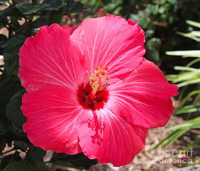 Flowering Photograph - Red Hibiscus 2 by Cathy Lindsey