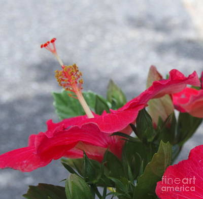 Red Hibiscus 3 Art Print by Cathy Lindsey