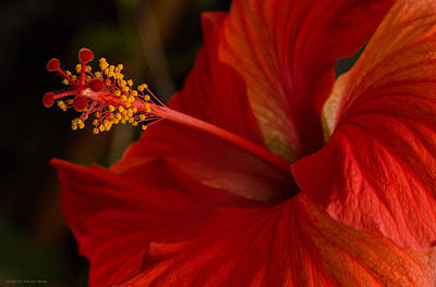 Photograph - Red Hibiscus 4 by Frank Mari