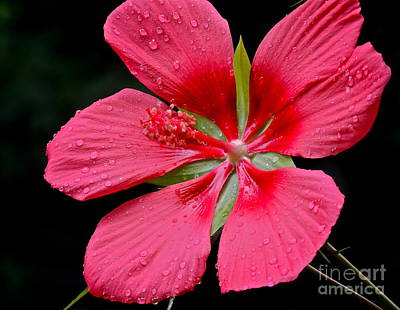 Photograph - Red Hibiscus by Eve Spring