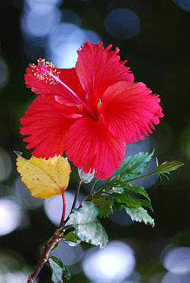 Photograph - Red Hibiscus Flower by Michelle Wrighton