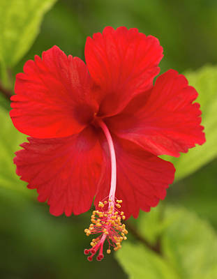 Mallow Photograph - Red Hibiscus, Hibiscus Rosa-sinensis by William Sutton