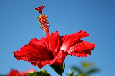 Flowers Photograph - Red Hibiscus  by Kimberly Reeves