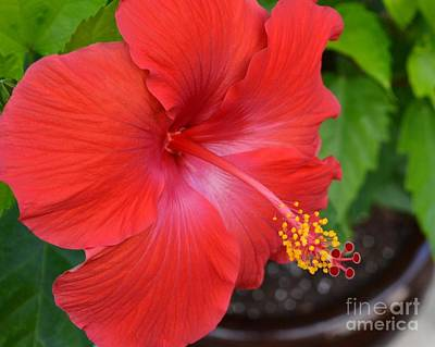 Photograph - Red Hibiscus-no2 by Darla Wood