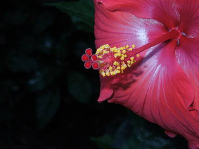 Art Print featuring the photograph Red Hibiscus by Ron Davidson