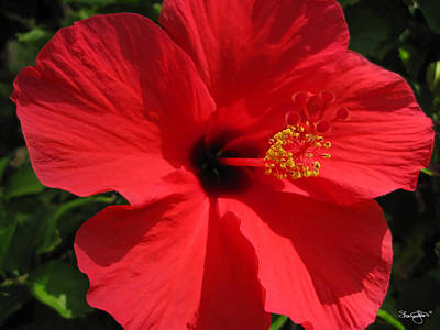 Photograph - Red Hibiscus by Shanna Hyatt