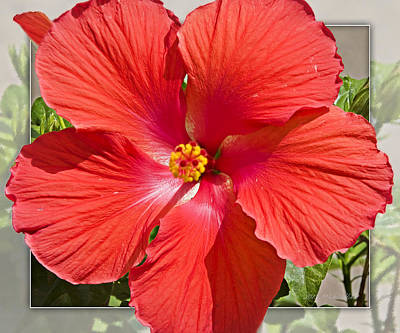 Photograph - Red Hibiscus by Walter Herrit