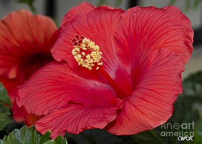 Photograph - Red Hibiscus by Wanda Krack