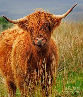 Red Highland Cow Art Print