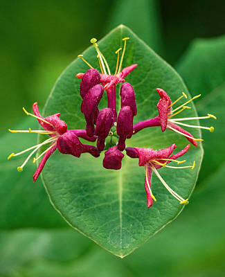 Photograph - Red Honeysuckle by Jim Zablotny