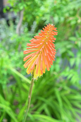 Cheers Photograph - Red-hot-poker Plant, Usa by Lisa S. Engelbrecht