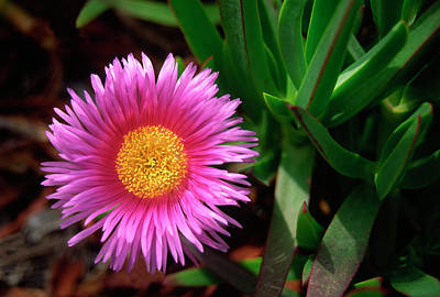 Striking Photograph - Red Hottentot Fig Flower by Nigel Downer