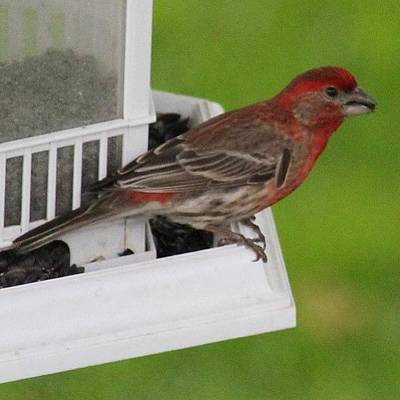 Finch Photograph - Red House Finch #bird #finch by Lisa Thomas