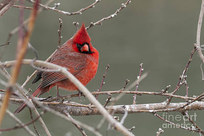 Photograph - Red In Winter by David Cutts
