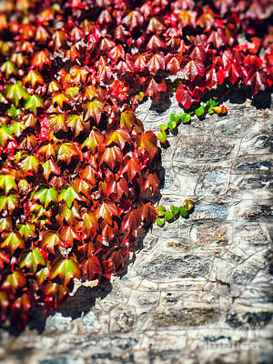 Photograph - Red Ivy On Wall by Silvia Ganora